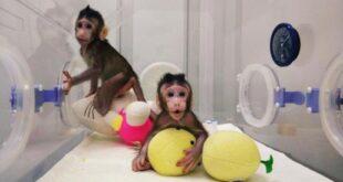 Dopo Dolly: Zhong Zhong e Hua Hua, un nuovo successo per la clonazione animale