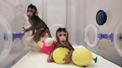 Le due scimmie su cui è stata effettuata la clonazione