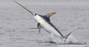 …il pesce spada nasconde una storia tutta messinese?